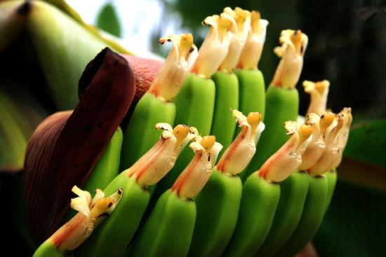 还未成熟的火山岛香蕉 图: