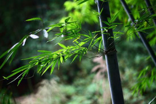 翠绿欲滴的竹叶