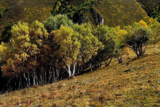 山里风景宜人,空气清新,山路上桦树林,松柏林郁郁葱葱,植被以落叶松为