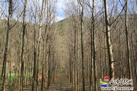 2013年雨碌乡在牛栏江沿岸投资规模化发展种植竹柳160亩,历时两年,目前竹柳长势喜人,5米多高的竹枊,笔直挺拔,主干挺拔,枝叶婆娑,站在成行成列的竹柳林边,俨然一座小森林。据了解,竹柳属于柳树的一种,是一种抗寒、抗旱、抗涝性极强的速生树种,具有用途广、速生性好、高密植性、适应性强、材质优良等特点,可做防护林、风景林、造纸林等,可产生较高的生态效益和经济效益。   今年,雨碌乡农科站牵头与农业龙头企业成富腌菜厂签订购销合同,统一流转土地500余亩,延续种植粉杆青菜;在农科站的牵头带动下,组织农技人员
