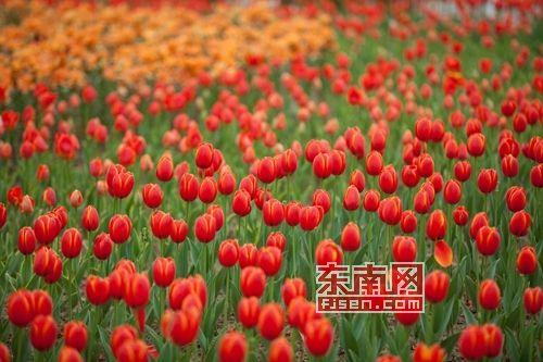 漳州水仙花海图片