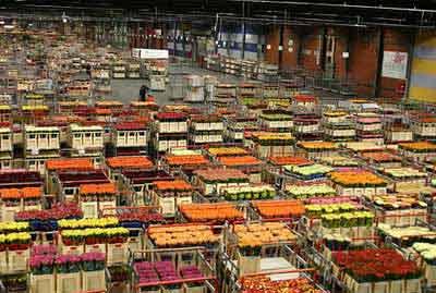 在荷兰买花 像做抢答题(图)