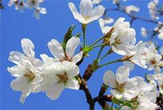 春季各地赏花攻略:梨花