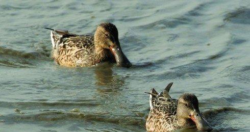 琵嘴鸭是深圳湾鸭类候鸟中数量最多的。