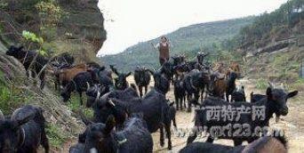 巴马长寿乡的特产:香猪和黑山羊(图)(11)