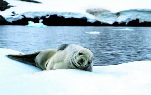 可爱的海豹