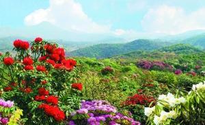 每逢花季,毕节百里杜鹃争奇斗艳,煞是好看。(图片由广旅提供)