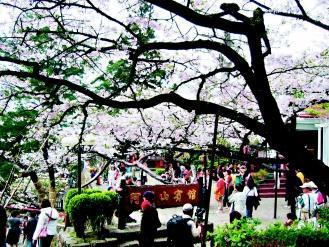 阿里山樱花盛开,此时到4月中旬都是赏花季。(图/阿里山风景区管理处提供)