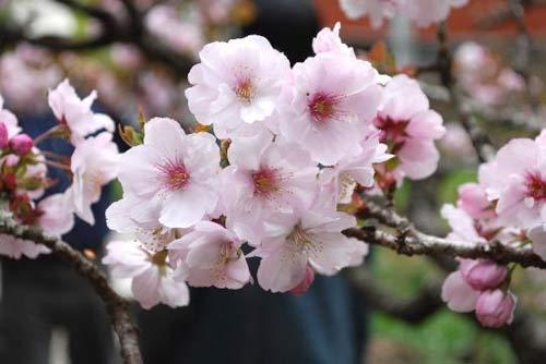 阿里山的樱花