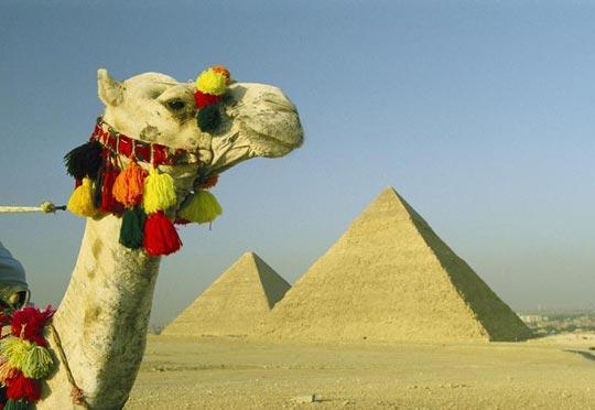 金字塔前的骆驼