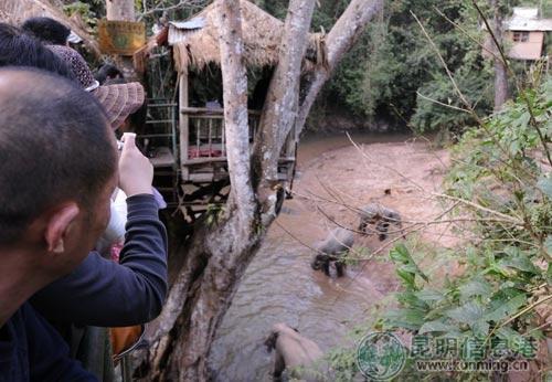 野象闯入野象谷,游客纷纷拍照留念 记者林霞/摄