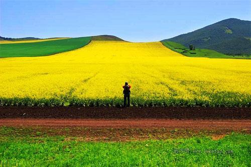 美丽的草原油菜花 作者:江山潘