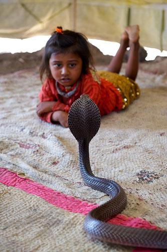 4岁的梅鲁纳特madari趴在不到一米的距离的眼镜蛇面前,面对强大的