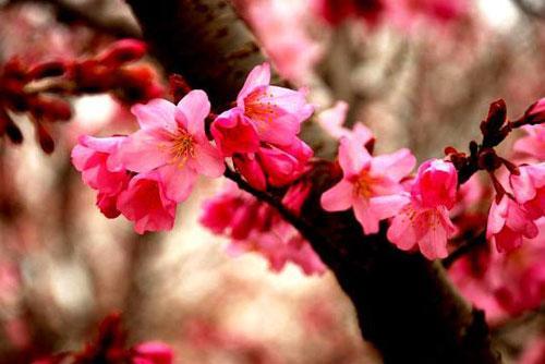 日本伊豆:樱花漫天飘雪