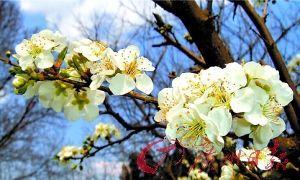 春节到从化看李花