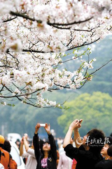 武汉大学是国内著名的赏樱胜地之一,现有早樱、晚樱、红垂樱等10多个品种的樱花树数千株。