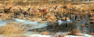 """清水河面不时有一些林立着隔年芦苇的黄色滩涂,绿头野鸭是这个季节河面上最热闹的""""客人""""。"""