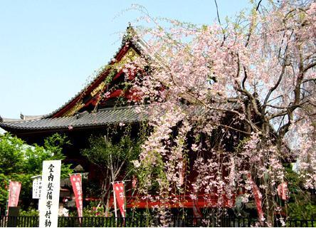 东京上野公园 樱花飘扬
