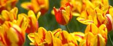 春暖花开:郁金香之旅