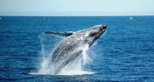 鲸鱼出水的壮观景象