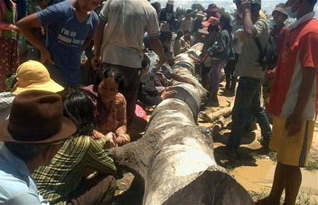 柬埔寨4千民众朝拜大树 称能预测彩票中奖号