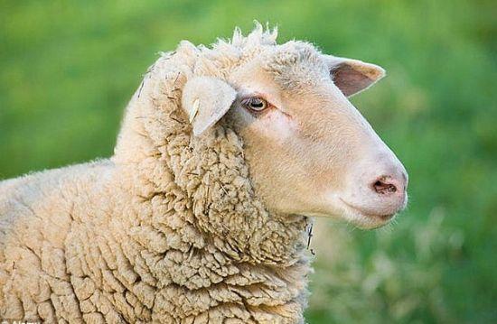 绵羊躺枪了