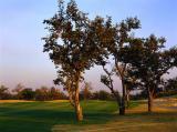 图文-太伟高尔夫球场美景图柿树极富特色
