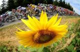 向日葵是环法一大特色